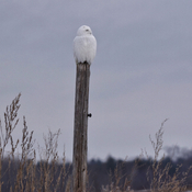 Male snowy owl in a field near my home