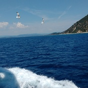 Sea Birds following boat near Athos Peninsula, Greece
