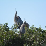 blue herons in their nest st.petersburg, florida, usa