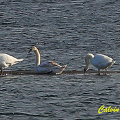 Seven Mute Swans in Ingleside Ontario