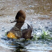 Hooded Merganser!!!