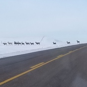 Mule deer crossing on highway 6 north of minton sask