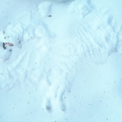 hawk imprint in snow