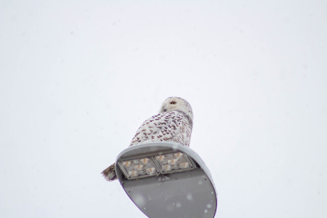 Snowy Owl Kingston, ON