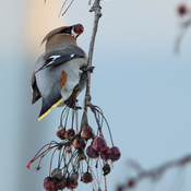 cedar waxwing eating berries