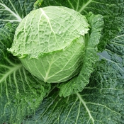 Cabbage is a Healthy Food