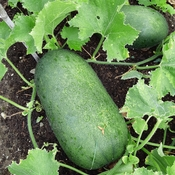 Monster Green Squash