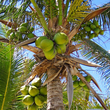 Coconut Palm ~ Riviera Maya