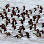 Canvasbacks along the Niagara River