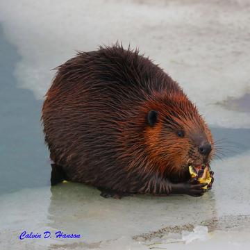 Beavers are out and about