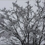 Cotton tree of snow tree...