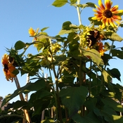 Save The Bees by Planting Sunflowers