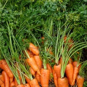 Fresh Garden Carrots Taste The Best