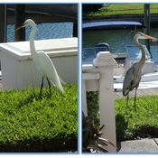 look who dropped by to say hi egret and blue heron st.petersburg, florida, usa
