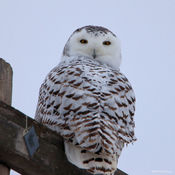 Being watched by a Snowy Owl