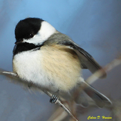 A beautiful Chickadee