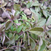 Growing Oregano