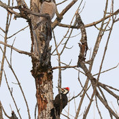 Hawk Owl and Pileated Woodpecker