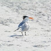 royal tern fort de soto, florida, usa