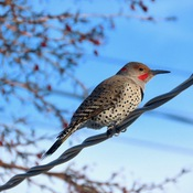 Northern Flicker, SW Calgary