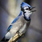 Screaming Blue Jay