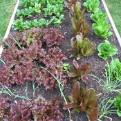 Salad Garden in Garden Bed