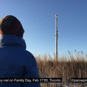 A wild snowy owl on Family Day in Ontario, Toronto