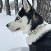 B'Lanna the snowy Husky