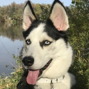 My Beautiful B'Lanna the Siberian Husky