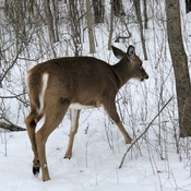 Deer at Conservation area