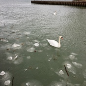 Swans paddle directly into and paddle through this ice
