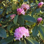 The first rhododendron