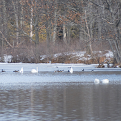 Swans and Geese at the Washburn Locks