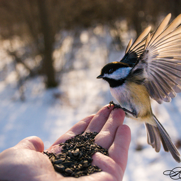 Chickadee landing to eat