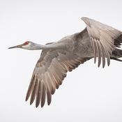 Sandhill Crane at Long Point