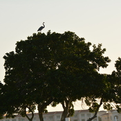 blue heron building a nest waterside south at coquina key, florida