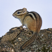First Chipmunks