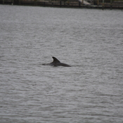 dolphin waterside south at coquina key, florida