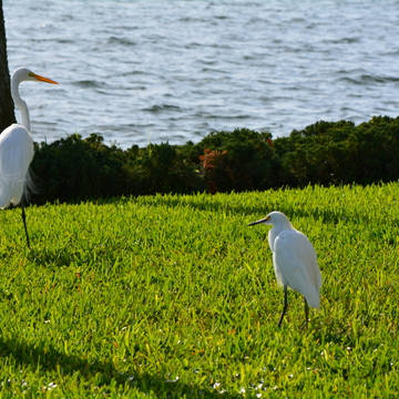 good comparison great egret and snowy egret waterside south at coquina key, flor