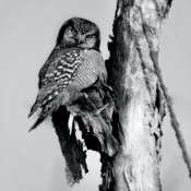 Northern Hawk Owl in B/W