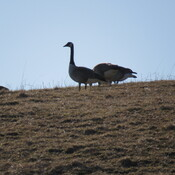 Geese on a hill.