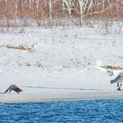 Otter chases swan on the river bank