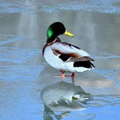 """COLD DUCK"""