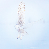 Snowy Owl Jin Flight