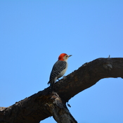 red bellied woodpecker Boyd Hill Nature Preserve, Florida