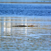 Alligator Boyd Hill Nature Preserve, Florida