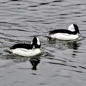 Two buffleheads