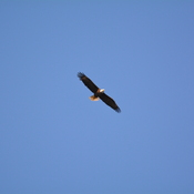 eagle flying by Boyd Hill NAture Preserve, florida