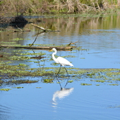 great egret Boyd Hill NAture Preserve, florida
