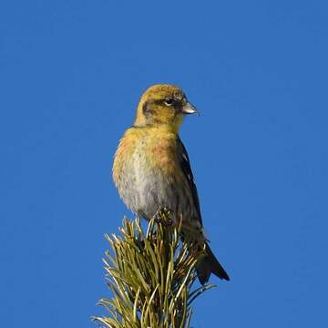 Young male Red Crossbill